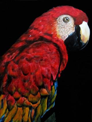 pappagallo ara rosso in sfondo nero